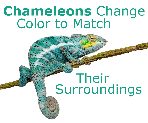 Chameleons Change Color to Match Their Surroundings