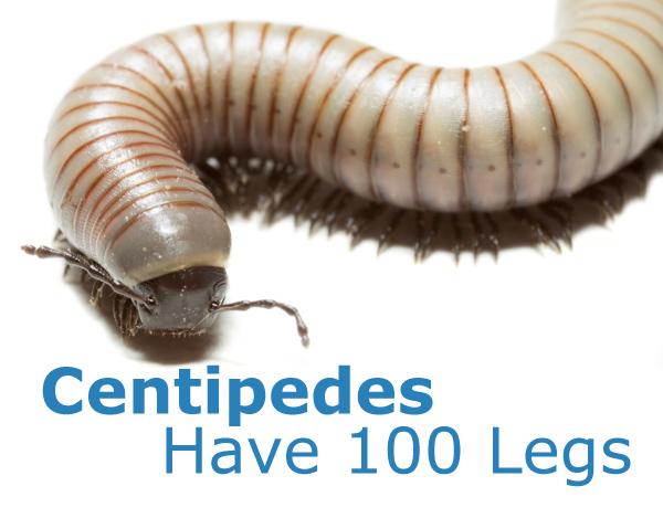 Centipedes Have 100 Legs