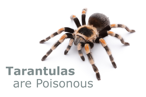 Tarantulas are Poisonous